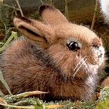 Baby Field Rabbit